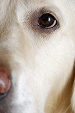 close-up of the eye of a retriever dog